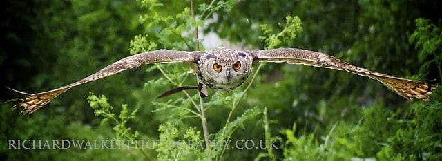 How to photograph a flying birds: Sample image of a gliding owl in flight