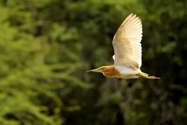 Flying Bird: Indian Pond Heron, captured with a Canon Kit Lens at 250mm