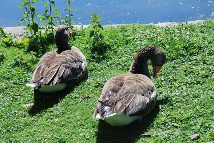 Ducks sunbathing in St. James Park, London