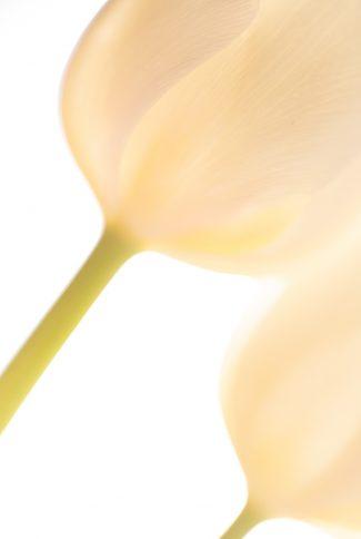tulip backlit