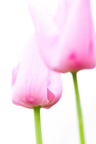 high-key tulips